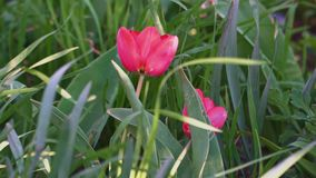 Beautiful tulips grow in the big green grass close up.  stock video footage