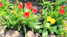 Beautiful tulips growing along path. Flower bed in garden. Path leading to rural house in village. Tulips growing in village. Yellow and red tulips on flower bed stock footage
