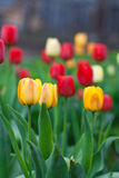 Beautiful tulips growing in the flowerbed Stock Photos