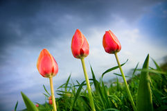 Beautiful tulips growing up in the stormy sky. Beautiful tulips growing up in the cloudy sky Stock Images