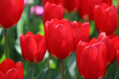 Beautiful tulips from Holland close up stock images