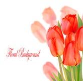 Beautiful Tulips Isolated On White Background Royalty Free Stock Photos