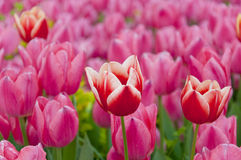 Turkish tulips Royalty Free Stock Photo
