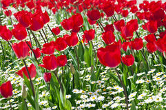 Turkish tulips Stock Photos
