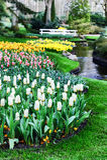 Beautiful tulips in Keukenhof Garden Stock Photo