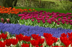 Beautiful tulips in Keukenhof, Holland. Fields with colourful flowers, growing in the parc located close to Amsterdam. Open from March till May every year. In Stock Images