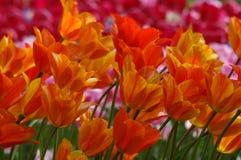 Beautiful tulips in Keukenhof, Holland Royalty Free Stock Images
