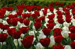 Beautiful tulips in Keukenhof, Holland Stock Image