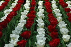 Beautiful tulips in Keukenhof, Holland Stock Images