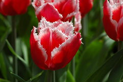 Beautiful tulips in Keukenhof, Holland Stock Photo