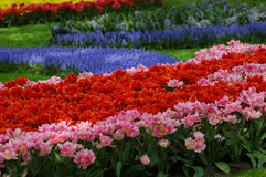 Beautiful tulips in Keukenhof, Holland. Fields with colourful flowers, growing in the parc located close to Amsterdam. Open from March till May every year. In Stock Photography