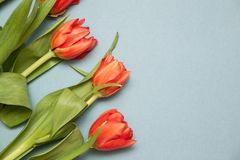 Beautiful tulips on light background stock photos