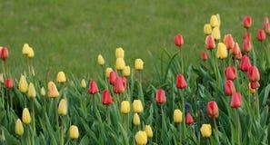 Beautiful tulips Stock Images