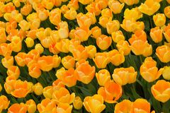 Beautiful tulips - natural background, Royalty Free Stock Images