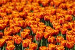 Beautiful tulips - natural background, Stock Photo