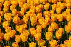 Beautiful tulips - natural background, Stock Images