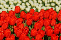 Beautiful tulips - natural background, Royalty Free Stock Photography