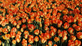 Beautiful tulips - natural background, texture Royalty Free Stock Photography