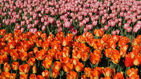 Beautiful tulips - natural background, texture Stock Images