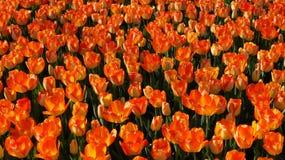 Beautiful tulips - natural background, texture Stock Photo