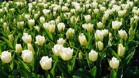 Beautiful tulips - natural background, texture Stock Photography