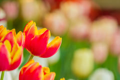 Beautiful tulips with nature background Royalty Free Stock Photos