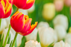 Beautiful tulips with nature background Stock Images