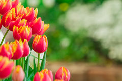 Beautiful tulips with nature background Stock Photos