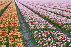 Beautiful tulips in the Netherlands. Endless rows of beautiful tulips in the Netherlands stock photo