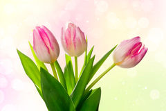 Beautiful tulips over bright spring background Royalty Free Stock Photography