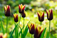 Beautiful tulips in park. On a blurred background in springtime Stock Photography
