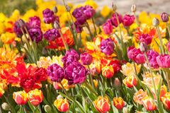 Beautiful tulips in the park. Spring concept. Royalty Free Stock Photos