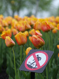 Beautiful tulips in spring. Beautiful tulips in the spring park stock photos