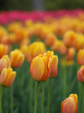 Beautiful tulips in spring Royalty Free Stock Images