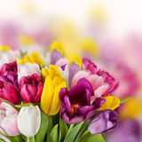 A Tulips Spring Flowers Background Stock Image