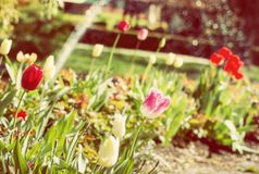 Beautiful tulips in the spring garden, yellow filter. Detail of red, yellow and pink tulips in the spring garden. In the background is splashing fountain. Yellow Royalty Free Stock Images