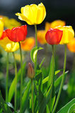 Beautiful tulips in spring time Royalty Free Stock Images