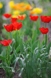 Beautiful tulips in spring time Stock Images