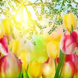 Beautiful tulips in spring time. EPS 10 Stock Photos