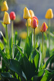 Beautiful tulips in spring time Stock Photo