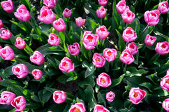 Beautiful tulips, top view (love, marriage - concept) Royalty Free Stock Photo