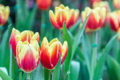 Beautiful tulips in tulip field with green leaf background at winter or spring day. Broken tulip Stock Photos