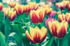 Beautiful tulips in tulip field with green leaf background at winter or spring day. Broken tulip. Vintage style effect Royalty Free Stock Photography