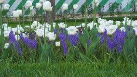 Beautiful tulips on VDNKh stock footage