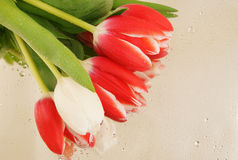 Beautiful tulips with water drops Royalty Free Stock Photo