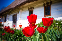 Beautiful tulpes. On the old ukrainian village house on the background royalty free stock image