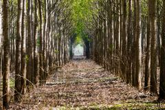 Forest avenue with tree alightment royalty free stock image