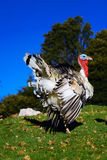 Beautiful turkey in the forest Stock Photography