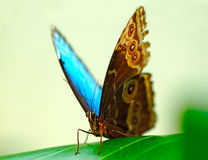 A beautiful turquoise butterfly Royalty Free Stock Photo