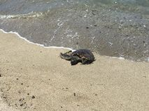 A beautiful turtle coming out of the water Stock Photo